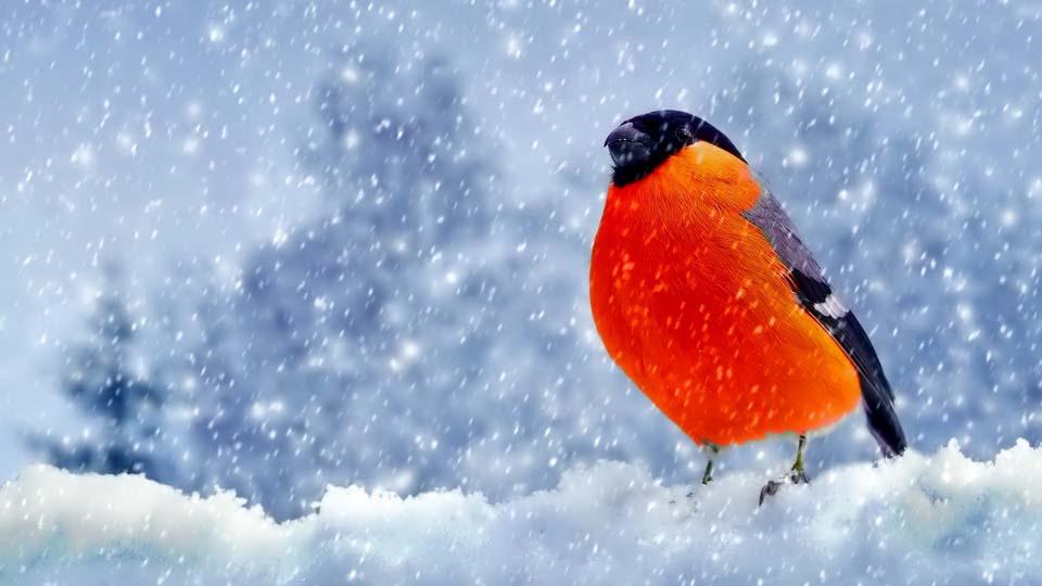 обои зима снегири