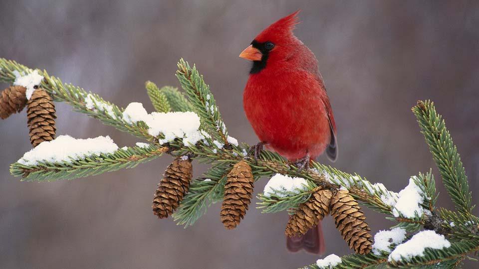 обои зима птички