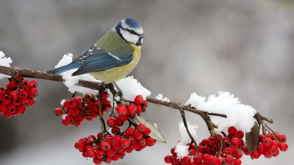 обои зима синички